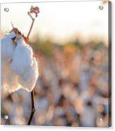 Cotton Field 14 Acrylic Print