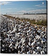 Cotton Field Acrylic Print