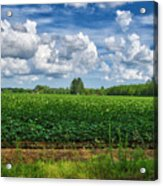 Cotton Fields Of Sc Acrylic Print