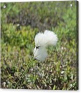 Cotton Grass -eriophorum Virginicum- Acrylic Print