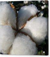 Cotton Pod Open Acrylic Print