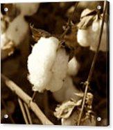 Cotton Sepia2 Acrylic Print