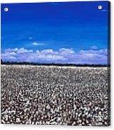 Cottonfields In Eastern Arkansas Acrylic Print