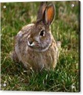 Cottontail Bunny ... Montana Art Photo Acrylic Print