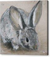 Cottontail Rabbit Acrylic Print