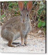 Cottontail Rabbit Surprised To Have Company Acrylic Print