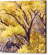 Cottonwood Golden Leaves Acrylic Print