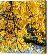 Cottonwood Tree Along The River Acrylic Print