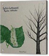 Cottonwood Tree Id Acrylic Print