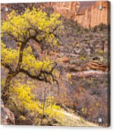 Cottonwood Tree With Vibrant Autumn Colour, Zion National Park, Utah Usa Acrylic Print