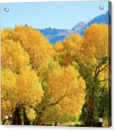 Cottonwoods in All Their Glory Acrylic Print