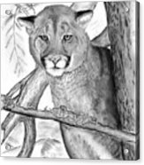 Cougar In Tree Acrylic Print