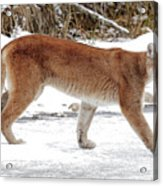 Cougar On The Prowl Acrylic Print