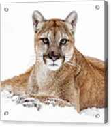 Cougar On White Acrylic Print