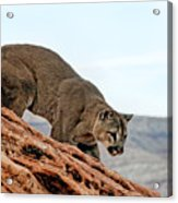 Cougar Prowling Acrylic Print