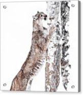 Cougars Tree Acrylic Print