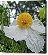 Coulter's Matilija Poppies In Rancho Santa Ana Botanic Gardens, Claremont-california  Acrylic Print