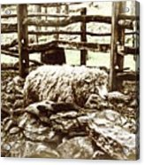 Counting Sheep Acrylic Print