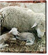 Counting Sheep Acrylic Print