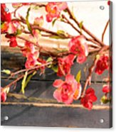 Country Quince Acrylic Print
