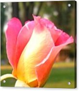 Country Rose Acrylic Print