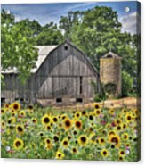 Country Sunflowers Acrylic Print