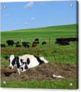 Countryside Cows Acrylic Print