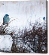 Couple Chilly Bluebirds Acrylic Print