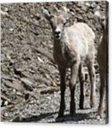 Couple Of Cuties- Baby Bighorn Acrylic Print
