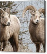 Couple Of Rams- Banff National Park Acrylic Print