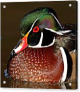 Courtship Colors Of A Wood Duck Drake Acrylic Print