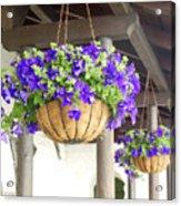 Courtyard Petunias Acrylic Print