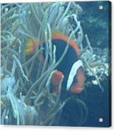 Cousin Of Nemo Acrylic Print