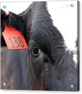 Cow 138 Acrylic Print
