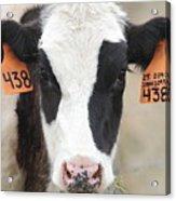 Cow 438 Acrylic Print