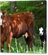 Cow And Calf Acrylic Print