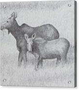Cow And Calf Moose  Acrylic Print