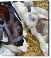 Cow And Lambs Acrylic Print