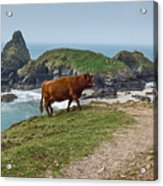 Cow At Kynance Cove Acrylic Print