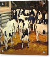 Cow Barn Acrylic Print