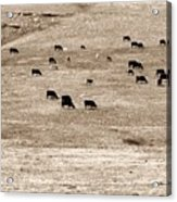 Cow Droppings Acrylic Print