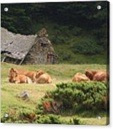 Cow Family Pastoral Acrylic Print