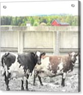 In The Future We Will Have No Cow Fence  Acrylic Print