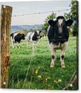 Cow Herd Acrylic Print