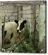 Cow In A Building Acrylic Print