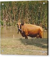 Cow In The Field Acrylic Print
