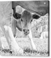Cow Milk Acrylic Print