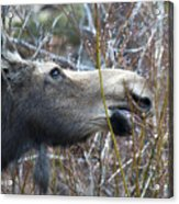 Cow Moose Dining On Willow Acrylic Print