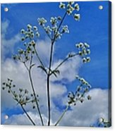 Cow Parsley Blossoms Acrylic Print