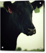 Cow In Summer Acrylic Print